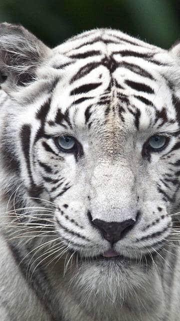 White Tiger Nexus 6 wallpaper